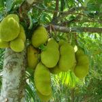 Jackfruit-We-Supply-Yachts