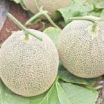 MUSK MELON WE SUPPLY YACHTS