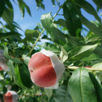 "Japan Yamanashi Sweet ""Momo"" Premium Peach We Supply Yachts"